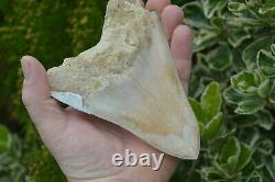 #111 Very Big 5.7 Megalodon Shark Tooth! Great Serrations! White/ Cream