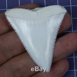 2.125' Modern Upper Great White Shark Tooth Megalodon Sharks Movie Fan RT05