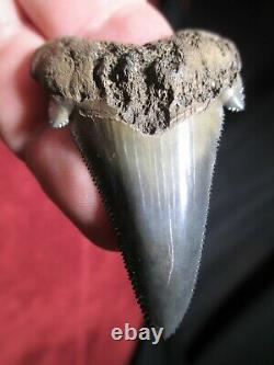 2-1/4 ANGUSTIDENS SHARK Tooth Fossil Fish Teeth TOP QUALITY MEGALODON ANCESTOR