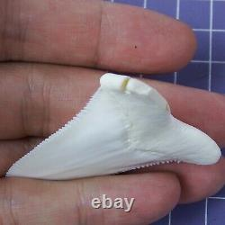 2.275'' Modern Great White Shark Tooth Megalodon for Necklace Making RT78