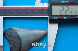 2.2 inch fossil great white shark tooth teeth from the Megalodon era