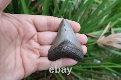 2 3/4 Megalodon Shark Fossil Tooth Southwest Florida