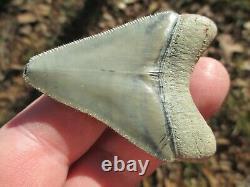 2-3/8 Inch MEGALODON SHARK Tooth Fossil Teeth FLORIDA BONE VALLEY BV