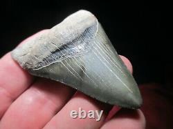 2-7/8 Inch MEGALODON SHARK Tooth Fossil Teeth SCUBA VENICE FLORIDA