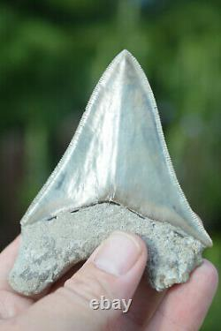 #37, Stunning 4 Indonesian Megalodon Tooth! . Big Serrations! U. K Stock