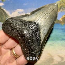 4.14 Megalodon Fossil Shark Tooth Quality Fossil No Restoration or Repair