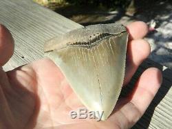 4.20 inch Georgia Megalodon Upper Shark Tooth Serration NO REPAIR