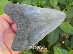 4 5/8 Inch Fossil Megalodon Prehistoric Shark Tooth Teeth. Sharp Serrations