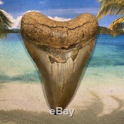 4.61 Huge Megalodon Shark Tooth Nice Serrations No Restoration or Repair