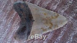 4.75 Megalodon Shark Tooth fossil
