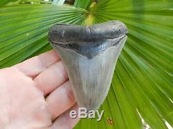 4 7/16 Georgia SMOKER Megalodon Shark Tooth Serration Bourlette NO REPAIR