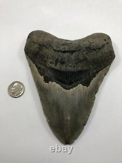 5.00 Rare MEGALODON Fossil Color Shark Teeth All Natural Ocean Tooth Beach(B76)