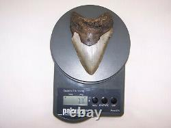 5.09 Megalodon Fossil Shark Tooth Teeth 7.7 oz Free Stand! NO RESTORATION