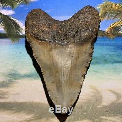 5.11 Megalodon Shark Tooth-No Restoration or Repair- North Carolina Fossil