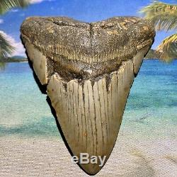 5.15 Megalodon Shark Tooth Giant Size-All Natural No Restoration or Repair