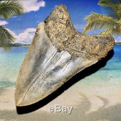 5.47 Megalodon Shark Tooth- High Quality Shark Tooth No Restoration or Repair