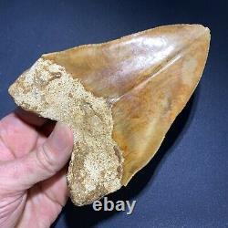 5.53 Indonesian Megalodon Shark Tooth Strikingly Beautiful West Java Orange