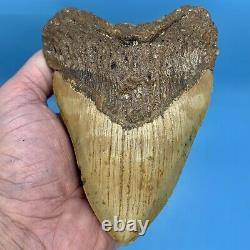 5.80 Megalodon Shark Tooth Beautiful Huge Fossil No Restoration or Repair