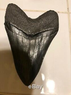 5 Inch Giant Megalodon Fossil Shark Tooth Megladon