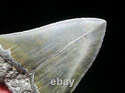 5 Inch MEGALODON SHARK Tooth Fossil Fish Teeth South Carolina USA SERRATED