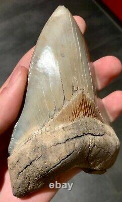 5 Inch Megalodon Tooth Lee Creek, Aurora, USA