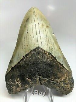 5 Inch Real Megalodon Shark Tooth Big Fossil Giant Genuine Prehistoric Meg Teeth