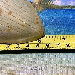 6.12 Megalodon Shark Tooth- Fantastic Meg No Restoration High Quality