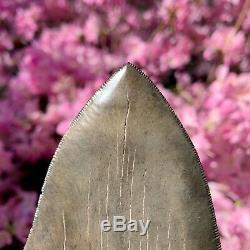 6.3 Museum Quality Megalodon Shark Tooth Excellent Serrations