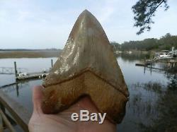 6 5/8 Massive Chilean Glass Like Upper Megalodon Shark Tooth Serration 1.32 lb