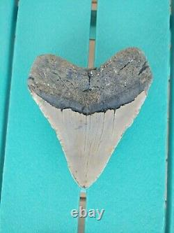6 Inch Real Megalodon Shark Tooth Authentic No Restorations