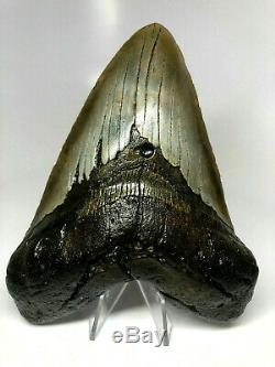 6 Inch Real Megalodon Shark Tooth Certified Fossil Giant Genuine Big Meg Teeth