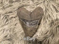 6 inch Huge Beautiful Megalodon Tooth Fossil Shark Teeth