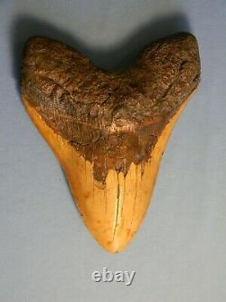Biggest Of The Biggest 6 7/8 Inch Megalodon Shark Tooth Fossil