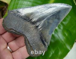 CHUBUTENSIS Shark Tooth 4 & 1/8 REAL FOSSIL SERRATED NO RESTORATIONS