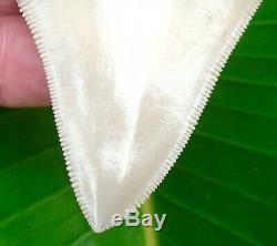 Chubutensis Shark Tooth XL 3 & 5/8 in. LEE CREEK AURORA NO RESTORATIONS