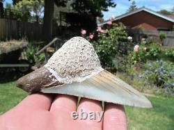 Coral Mounted Natural Megalodon Fossil Shark Tooth