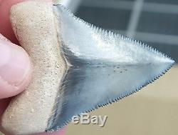 EXQUISITE Bluish Gray colored Bone Valley Megalodon Shark Tooth. Miocene