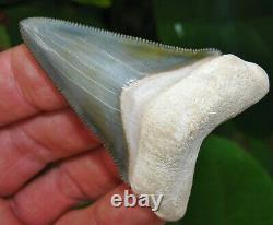 Exceptional Bone Valley Chubutensis Megalodon Tooth Florida fossil Shark teeth