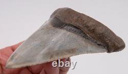 FINE South Carolina Megalodon Shark Tooth