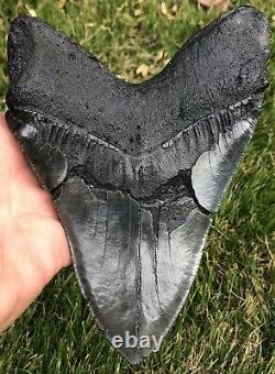GORGEOUS MASSIVE 6.561 Megalodon Shark Tooth Fossil