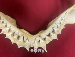 GREAT WHITE SHARK JAW, not megalodon mako fossil Shark tooth teeth 11' x 9
