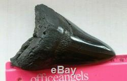 Genuine 11.5cm Megalodon Fossil Shark Tooth and stand 100% natural
