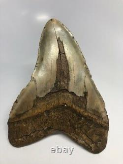 Giant 6.20 Curved Megalodon Fossil Shark Tooth Rare Huge 2316