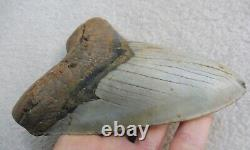 Giant Megalodon tooth 6.102 inches (15.50 cm)