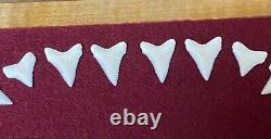 Great White Shark tooth DENTITION not a megalodon Fossil / Mako shark tooth