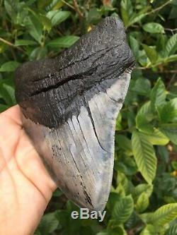 HUGE 6.34 Fossil Megalodon Shark Tooth SC River Extreme Quality NO RESTORATION