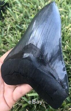 HUGE A+ Killer Serrated 5.733 Megalodon Shark Tooth Fossil. NO RESTORATION