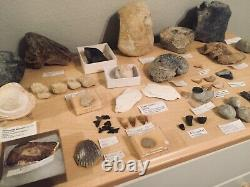 HUGE Fossil Collection Megalodon Ammonites Bivalve Echinoids Mosasaur Trilobite