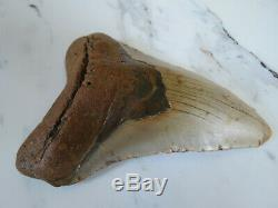 HUGE Fossil Megalodon Shark Tooth, 5.29 inches