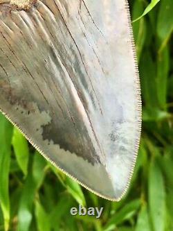 High Quality Large Deep Blue Serrated Indonesian Megalodon Shark Tooth